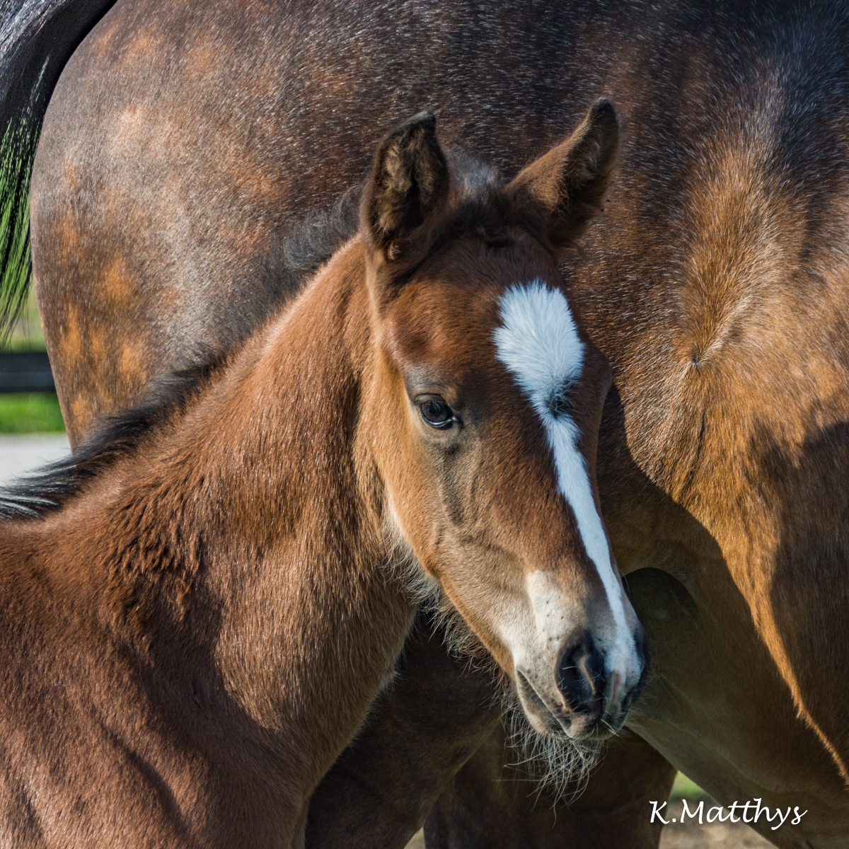 "The first foals of  the breeding farm ""Het Gouden Bit"" are there !!"