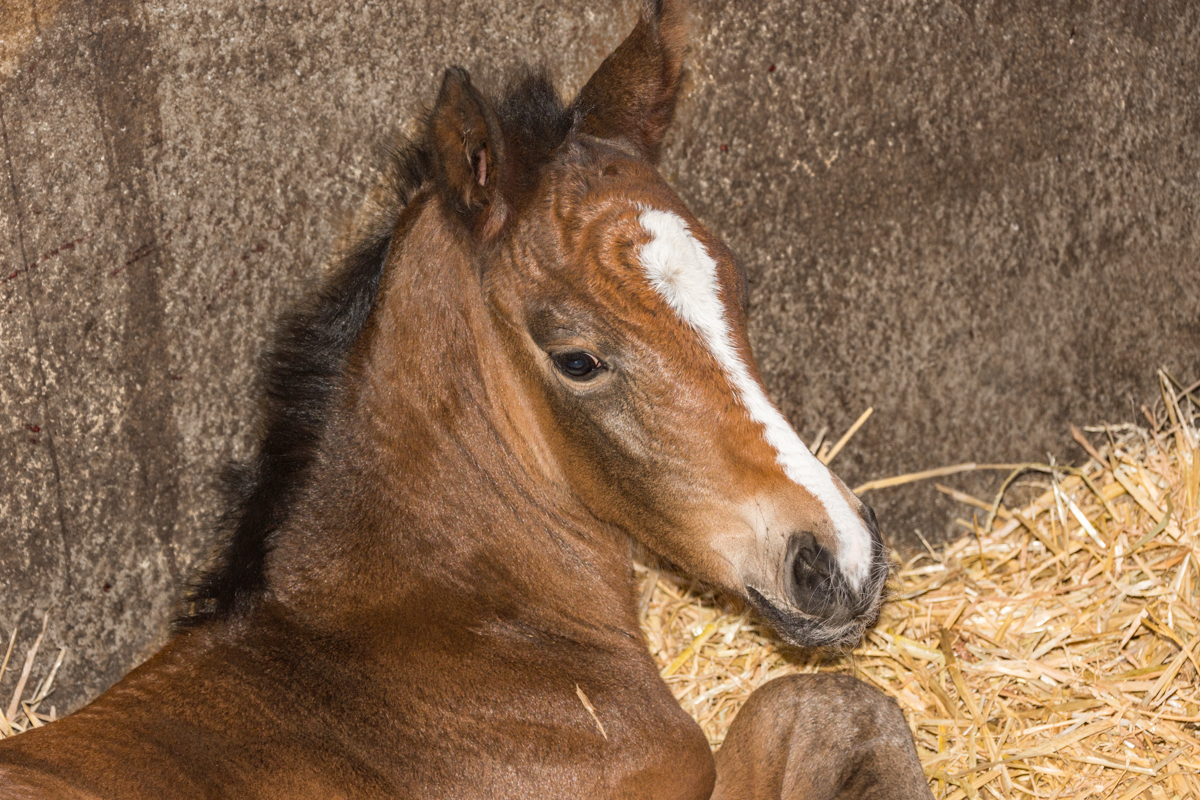 GOYA gave birth to a second filly out of  EXCALIBUR DE LA TOUR VIDAL !